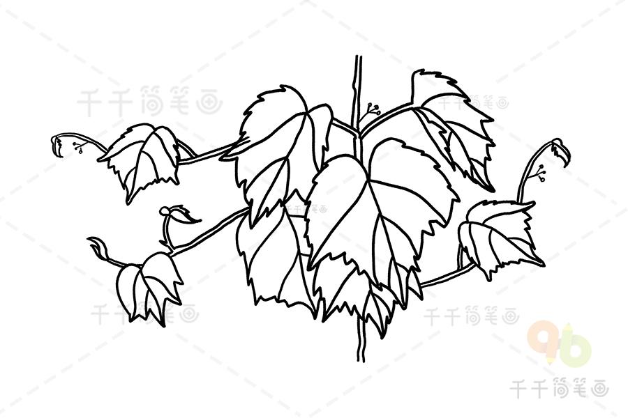 简笔画图片大全爬山虎_爬山虎简笔画图片_绿色植物